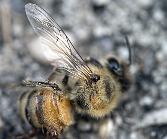 macro shot of dead bee New Orleans Louisiana