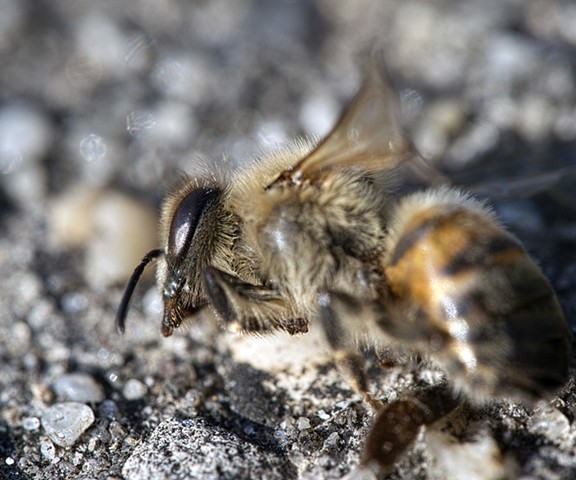 bee dead nature macro photography wings