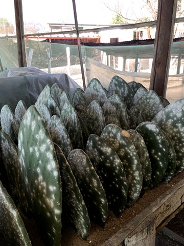 Cochineal on Cactus