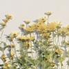 Heliopsis Heliantoides