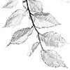 American Elm branch