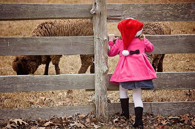 Christmas 2013 at Island Farm c.1847. I never tire of seeing the sparkle in the children's eyes when they see & hear the sheep. (photo by Melodie Leckie)
