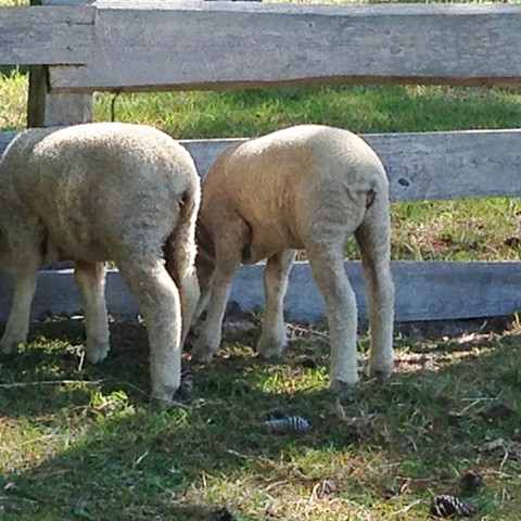 Ferne & Lily, merino lambs, spring 2014