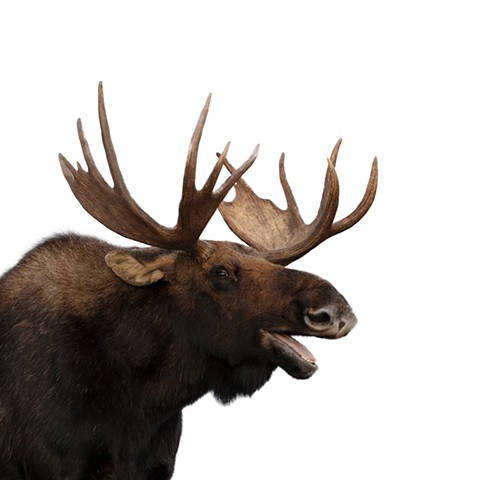"""Laughing Moose"""