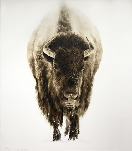 """Brown Bison Approaching"""