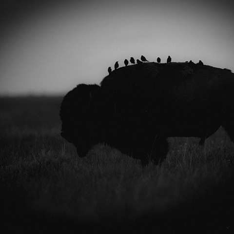 """Black Bison & Birds"""