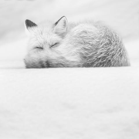 """""""Snow Fox"""""""