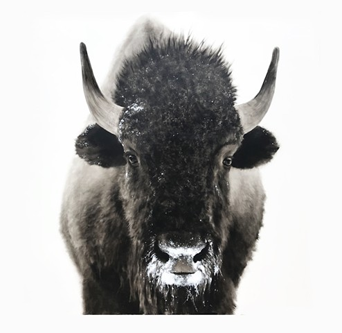 """Snowy Bison"""