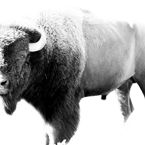 """In The Eye - Bison"""