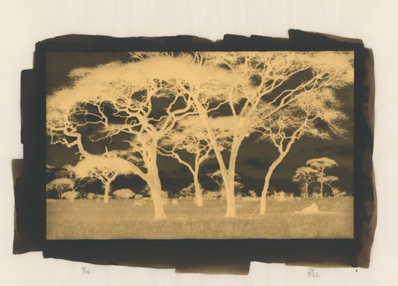 """Acacia Silhouette"" Edition 1/10"