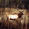 """""""Elk I"""""""