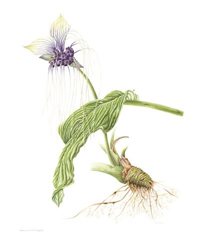Bat flower/Tacca integrifolia