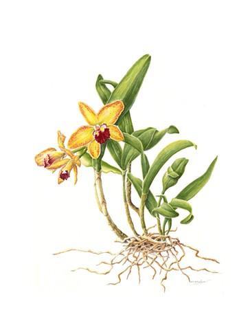 Orchid - Cattleya