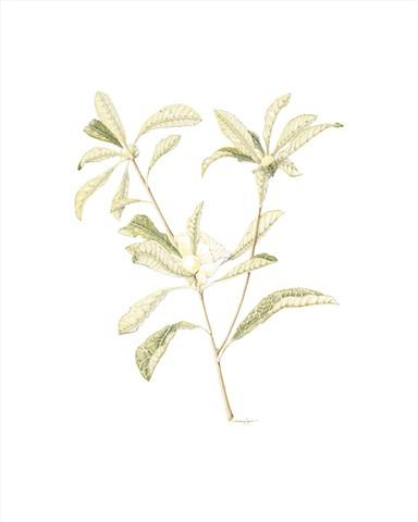 Franklinia altamaha