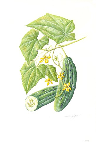 Cucumber/Cucumis sativas