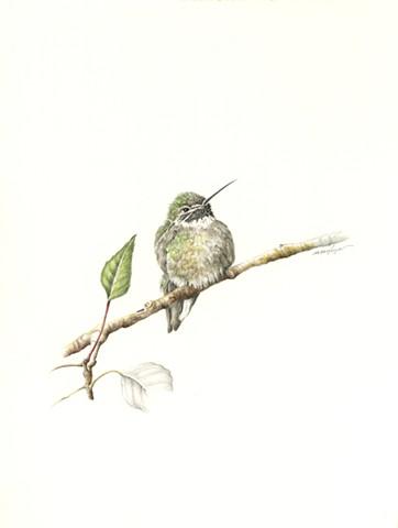 Santa Fe Humming bird
