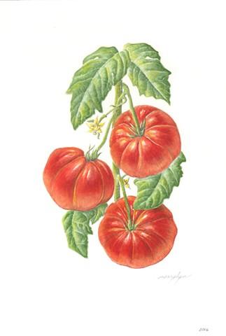 Tomato/Solanum lycopersicum