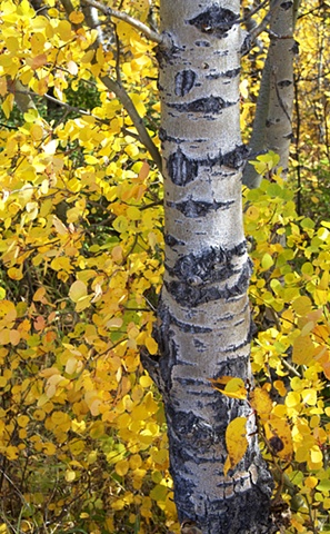 Autumn aspen in Glacier National Park, Montana.