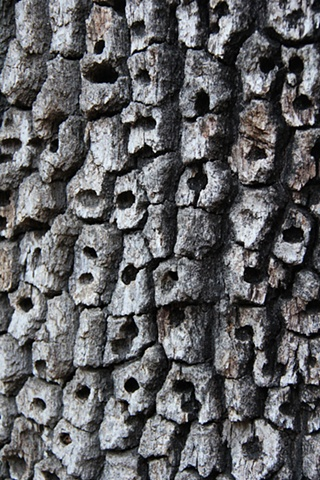 Evidence of Acorn Woodpeckers on the bark of an ancient oak near Thousand Oaks, California.