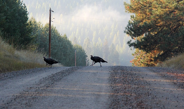 Two wild turkeys trot across a backroad in northwest Montana.