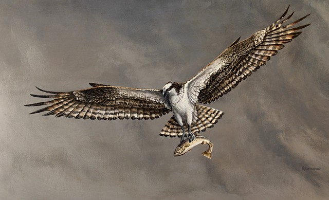 An Osprey rises with his catch above the bountiful waters of western Montana.