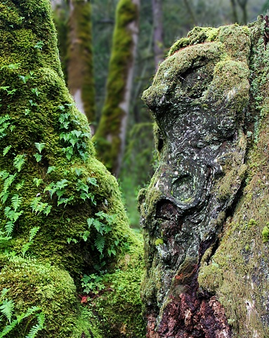 "A ""natural gargoyle"" glares out from an old growth stump above the Columbia River in northern Oregon.."