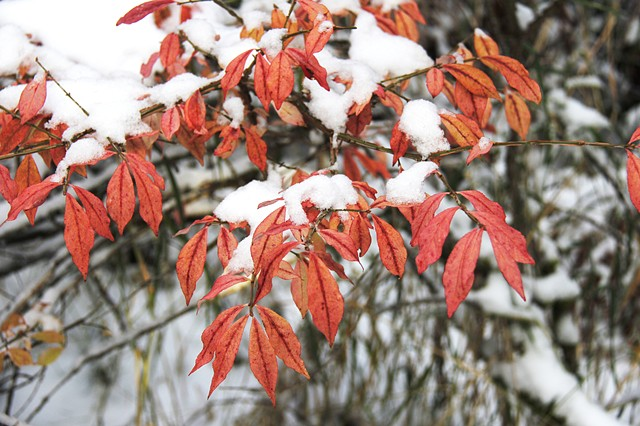 Red Dogwood on a snowy Montana morning.