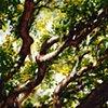 Savannah Tree Study 6