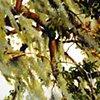 Savannah Tree Study 2
