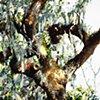 Savannah Tree Study 4