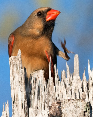 Northern Female Cardinal