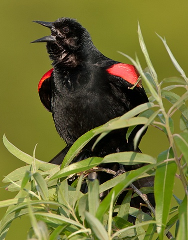 """Red Winged Blackbird"""