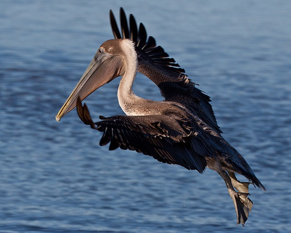 """Brown Pelican in Flight"""