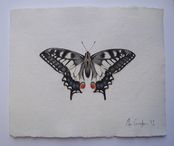 watercolour drawing of a Swallowtail Butterfly