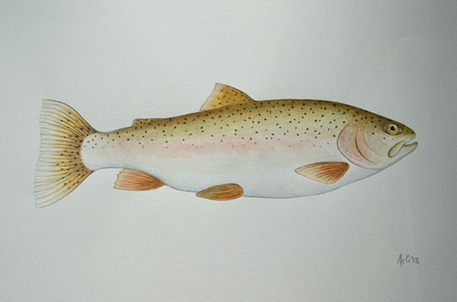 Watercolour drawing of a Rainbow Trout by Ele Grafton