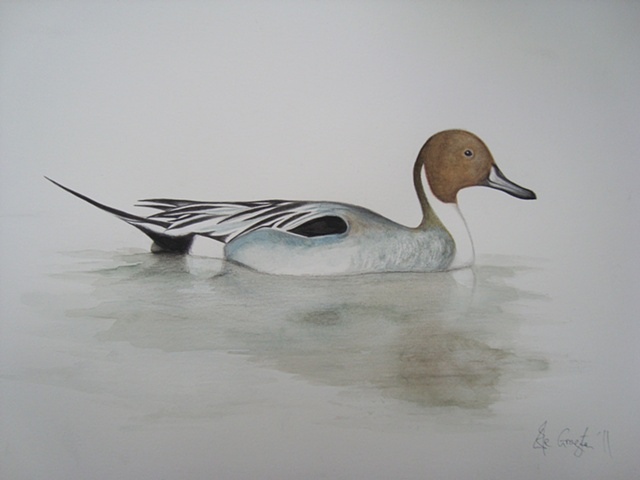 A watercolour picture of a Pintail duck