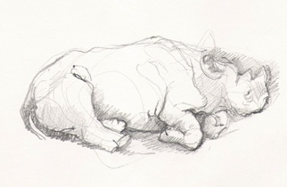 Sleeping Rhino