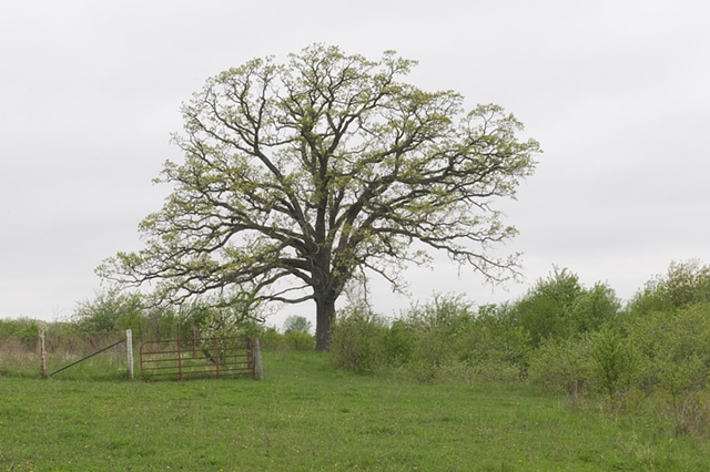 illinois oak: april