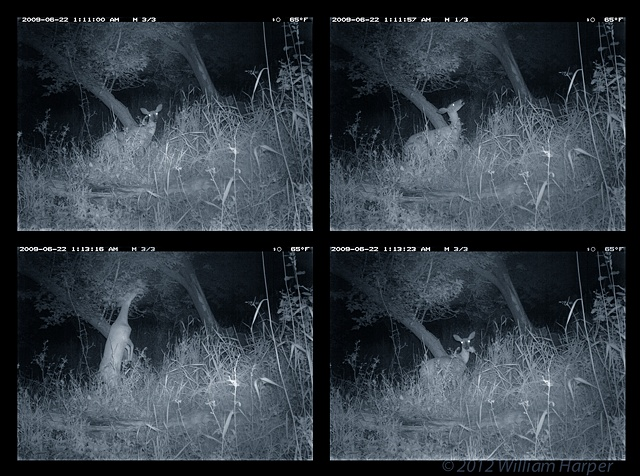 whitetail surveillance sequence 1