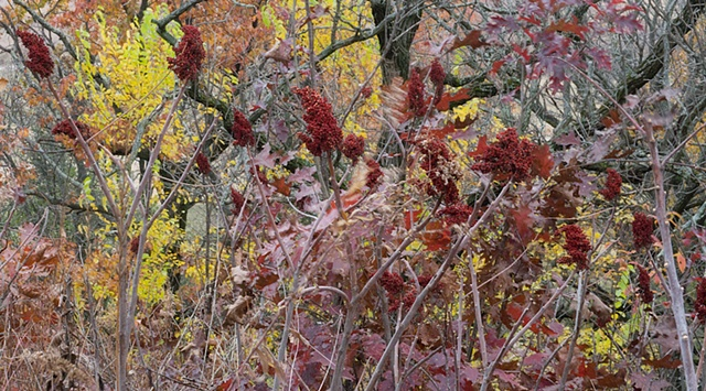 sumac at nippersink creek 2