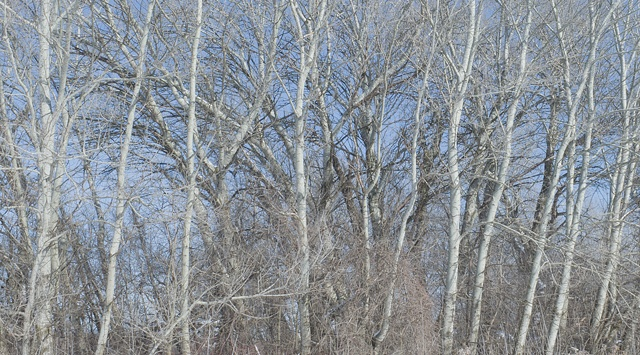 white poplars at miller creek: january