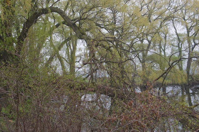 spring willows at mill creek