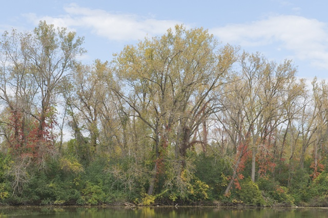 cottonwoods at the skokie river
