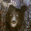 Goliath Bear