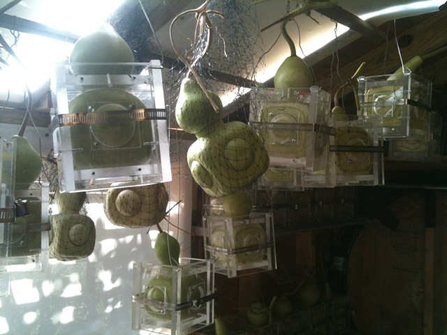 Lagenaria gourds in curing shed