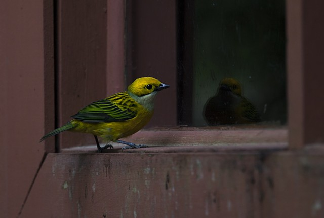 Silver-throated Tanager Looks at Their Own Reflection, Monteverde