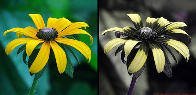 Visible-light and UV-light views of Rudbeckia
