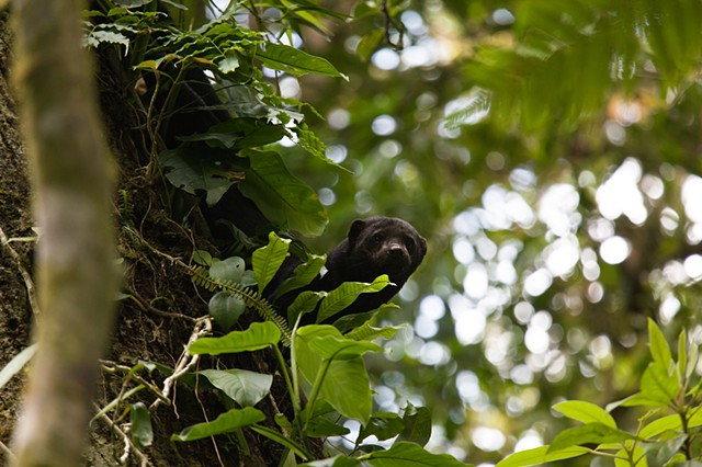 Tayra Watches Us, Monetverde Cloudforest