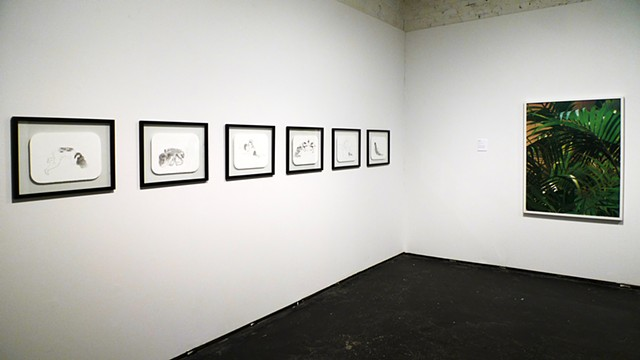 Installation view of drawings from the Cohabit series