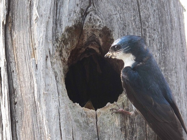 Adult tree swallow